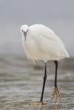 Egretta garzetta / Kleine Zilverreiger / Little Egret