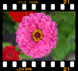zinnia - early wonder