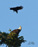 Crow and Eagle