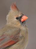 Cardinal-female