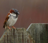 Wet birdie on a fence