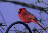 Birdie in Red