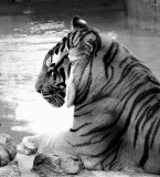 BW Tiger