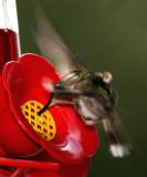 Thirsty hummingbird