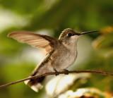 Hummingbird flapping wings