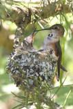 Baby Hummingbirds 2007