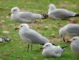 Audouin´s Gull (Larus audouinii)