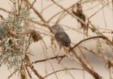 Desert Warbler (Sylvia nana)