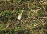 Little Curlew (Numenius minutus)