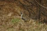 Golden Plover (Pluvialis apricaria)