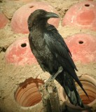 Brown-necked Raven (Corvus ruficollis)