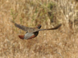 Red-legged Partridge (Alectoris rufa)