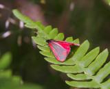 Karminspinnare (Tyria jacobaeae)