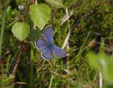 Hedblåvinge (Plebejus idas)