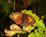 Slåttergräsfjäril (Maniola jurtina), hona