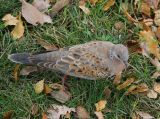 Turtle Dove (Streptopelia turtur)