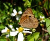 Mangrove Buckeye (Junonia evarete)