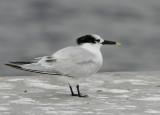 Cabot's Tern (Thalasseus acuflavidus)