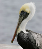 Brown Pelican (Pelecanus occidentalis)