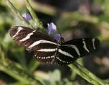 Zebra Longwing (Heliconius charitonius)