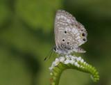 Miami Blue (Cyclargus thomasi  )