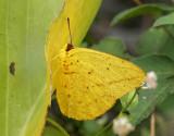 Large Orange Sulphur (Phoebis agarithe)