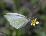 Great Southern White (Ascia monuste)