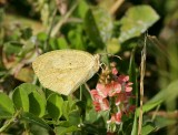 Barred Sulphur (Eurema daira)