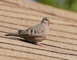 Common Ground-Dove (Columbina passerine)