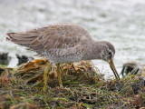 Short-billed Dowitcher (Limnodromus griseus)