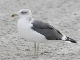 Lesser Black-backed Gull (Larus fuscus graellsii)
