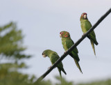 Mitred Parakeet (Aratinga mitrata)