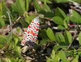 Bella Moth (Utetheisa ornatrix)