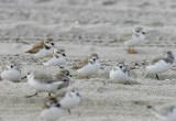 Piping Plovers (Charadrius melodus)