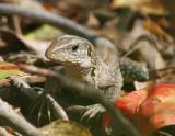 Ameva Lizard