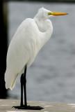 Great Egret (Ardea alba egretta)