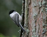 Willow Tit (Parus montanus)