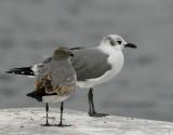 Laughing Gulls (Larus atricilla)
