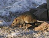 Brun råtta (Rattus norvegicus)