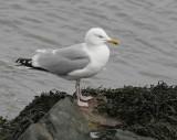 Herring Gull (Larus argentatus argenteus)