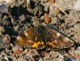 Brun flickfjäril (Archiearis parthenias)