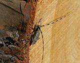 Större timmerman (Acanthocinus aedilis)