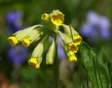 Gullviva (Primula veris)