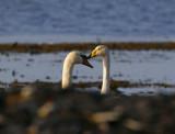 Mute Swan & Whooper Swan