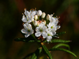 Skvattram (Rhododendron tomentosum)