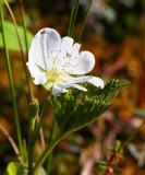 Hjortronblomma (Rubus chamaemorus)