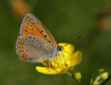 Violettkantad guldvinge, hona (Lycaena hippothoe)