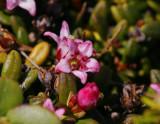 Krypljung (Loiseleuria procumbens)