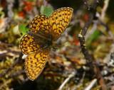 Svartringlad pärlemorfjäril (Boloria eunomia)