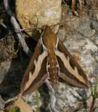 Brunsprötad skymningssvärmare (Hyles gallii)